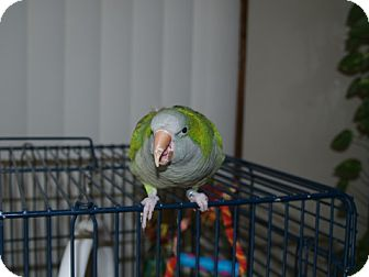 Parakeet - Quaker for adoption in St. Louis, Missouri - Amy