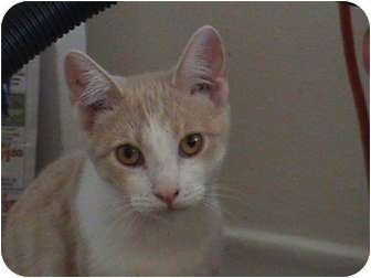 Domestic Shorthair Cat for adoption in Toronto, Ontario - Bits-Foster
