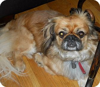 Pekingese Dog for Sale in dewey, Arizona - Goldie