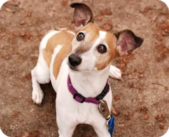 Jack Russell Terrier Dog for Sale in Kettering, Ohio - Lizzie