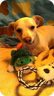 Jack Russell Terrier/Chihuahua Mix Dog for adption in phoenix, Arizona - Zero