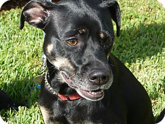 Rottweiler Mix Dog for Sale in hollywood, Florida - Maddie