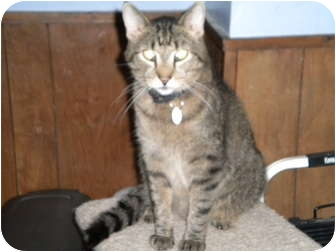 Domestic Shorthair Cat for adoption in Cleveland, Ohio - Spencer
