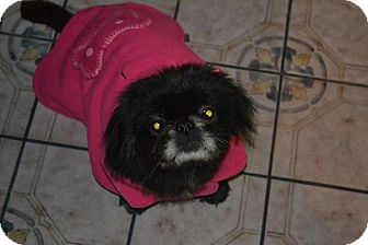 Pekingese Dog for Sale in San Diego, California - Happy