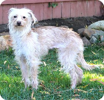 Terrier (Unknown Type, Small)/Italian Greyhound Mix Dog for Sale in Temecula, California - Gazelle