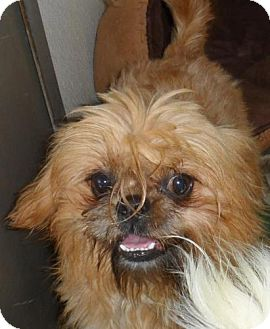 Shih Tzu/Brussels Griffon Mix Dog for Sale in Seattle, Washington - Talbot