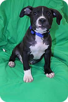 Labrador Retriever/Boxer Mix Puppy for Sale in Glastonbury, Connecticut - Ruger~meet me~