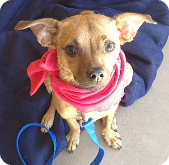 Chihuahua Mix Dog for Sale in Scottsdale, Arizona - Moose