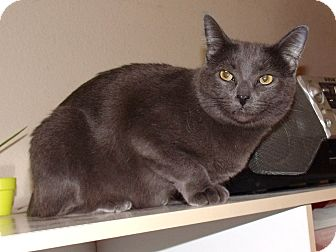 Russian Blue Cat for Sale in Scottsdale, Arizona - GG - Tabitha