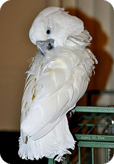 Cockatoo for Sale in Shawnee Mission, Kansas - Barley