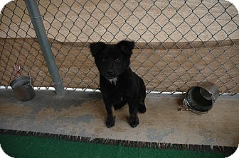 Chow Chow Mix Puppy for Sale in san antonio, Texas - Annie