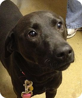 Labrador Retriever Mix Dog for Sale in Richmond, Virginia - Lucy