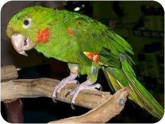 Conure for adoption in Shawnee Mission, Kansas - Petrie
