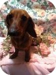 Dachshund Mix Dog for Sale in Manchester, Connecticut - Sophia  ADOPTION PENDING