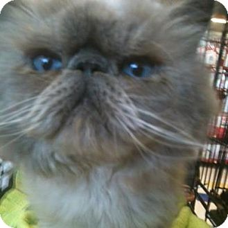Himalayan Cat for Sale in Beverly Hills, California - Vinnie