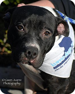 Staffordshire Bull Terrier Mix Dog for adption in Houston, Texas - Tita