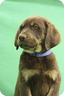 Shepherd (Unknown Type)/Labrador Retriever Mix Puppy for Sale in Broomfield, Colorado - Brownie