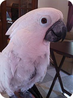 Cockatoo for Sale in Punta Gorda, Florida - Bonnie