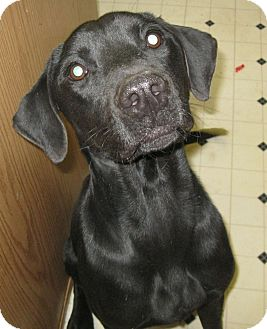 Labrador Retriever Dog for adption in Pelham, New York - Randy