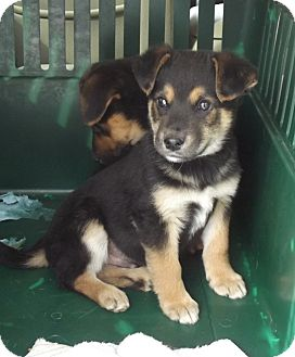 German Shepherd Dog Mix Puppy for Sale in Morgantown, West Virginia - Bert
