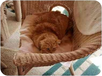 Domestic Mediumhair Cat for adoption in Culver City, California - Red Sonia
