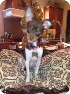 Chihuahua/Fox Terrier (Smooth) Mix Dog for Sale in San Diego, California - Sidney