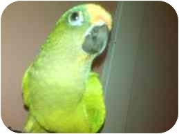 Conure for adoption in Shawnee Mission, Kansas - Pluto