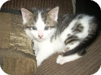 Domestic Shorthair Kitten for Sale in Horsham, Pennsylvania - Cody