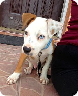 American Bulldog Mix Puppy for Sale in Miami, Florida - Glenn