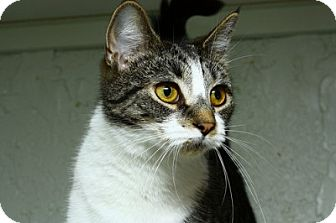 American Shorthair Cat for adoption in Lombard, Illinois - Buttercup
