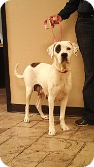 American Bulldog/Labrador Retriever Mix Dog for adption in Oviedo, Florida - Molly