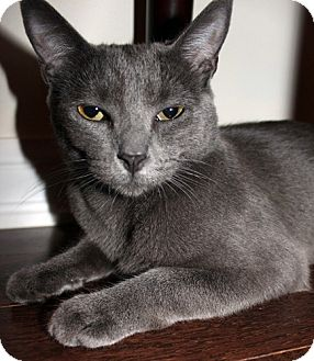 Russian Blue Cat for Sale in Mississauga, Ontario, Ontario - Briseis