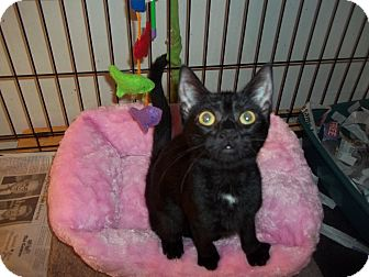 Domestic Shorthair Cat for adoption in Whitestone, New York - pinelope LAP CAT