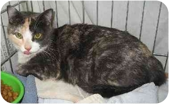 Domestic Shorthair Cat for adoption in Albuquerque, New Mexico - Bella