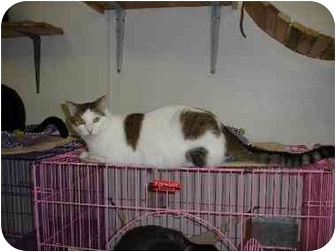 Domestic Shorthair Cat for adoption in Kenosha, Wisconsin - Amelia