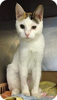 Domestic Shorthair Kitten for adoption in New York, New York - Lily