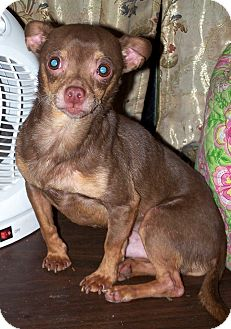 Chihuahua Dog for Sale in Niagra Falls, New York - Coco