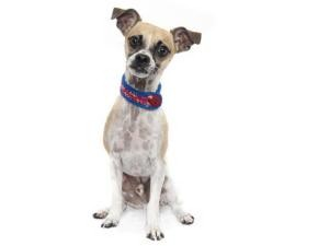 Chihuahua/Chinese Crested Mix Dog for Sale in Sacramento, California - Chief
