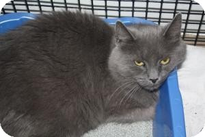 Domestic Longhair Cat for Sale in New Bedford, Massachusetts - Daphne