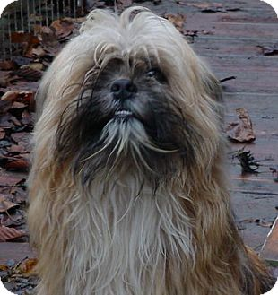 Pekingese Mix Dog for Sale in Brookville, Indiana - Dolly