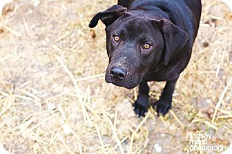 Labrador Retriever Dog for Sale in Carey, Ohio - Barry
