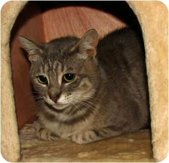 Domestic Shorthair Cat for adoption in Oxford, New York - Isabel