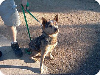 Australian Cattle Dog Mix Dog for Sale in Gilbert, Arizona - Cooper