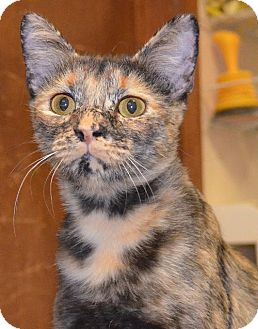 Domestic Shorthair Cat for adoption in Peoria, Arizona - Baby