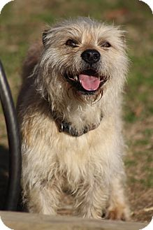 Cairn Terrier Mix Dog for Sale in Hamburg, Pennsylvania - Fraggle Rock