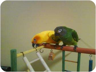 Conure for Sale in Tampa, Florida - Buddy & Daisy
