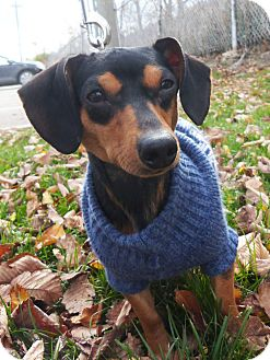 Dachshund Dog for Sale in Detroit, Michigan - Scooby-Adopted!