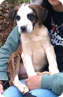 St. Bernard/Boxer Mix Puppy for Sale in Springfield, Virginia - Tobias