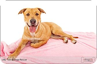 Labrador Retriever/Golden Retriever Mix Dog for adption in Scottsdale, Arizona - Lily SWEET Lily