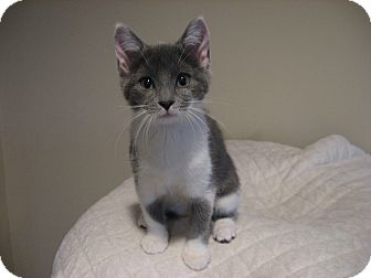Domestic Shorthair Kitten for Sale in Eagan, Minnesota - Helena